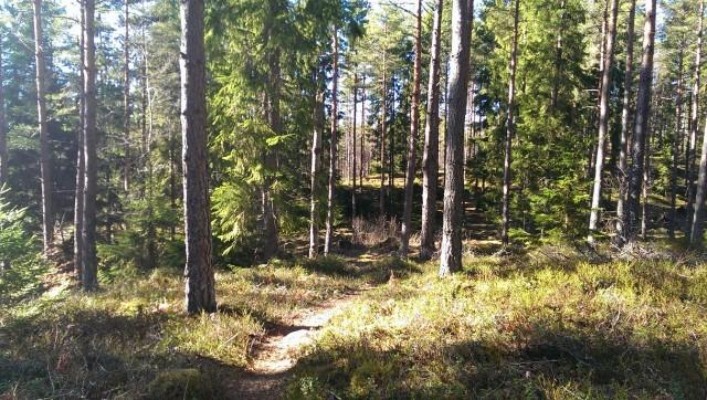 En bit vanlig jäkla skog men ack så vacker när solen strilar mellan stammarna